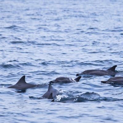 Observation des cétacés et des dauphins à long bec
