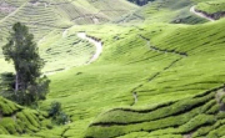 Visite d'une plantation de thé à Cameron Highlands
