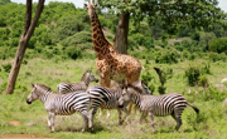 Safari accompagné au cœur du parc Kruger
