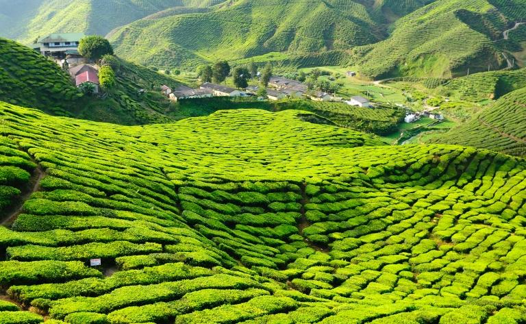 Au cœur des plantations de thé