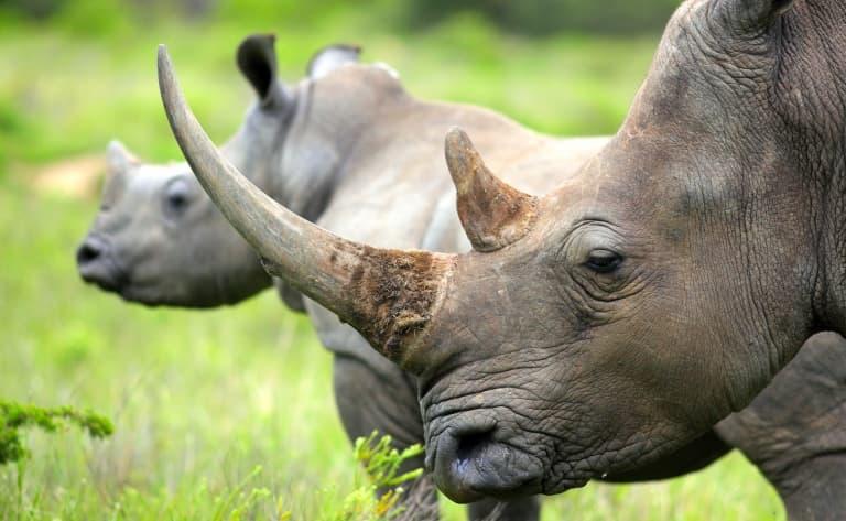 Rhinocéros noir en vue …
