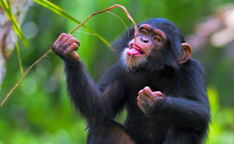 Au paradis des chimpanzés