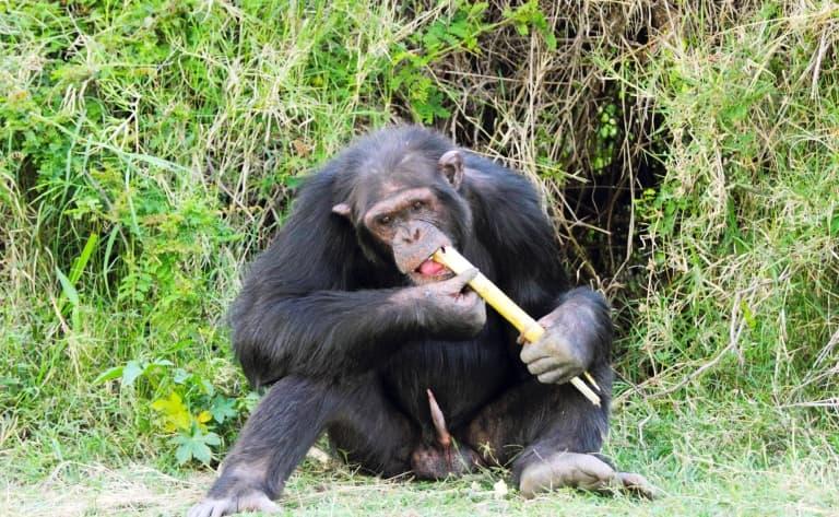 Aux pieds du Mont Kenya, le sanctuaire des chimpanzés