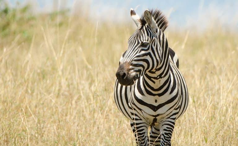Sur les pistes du Masai Mara